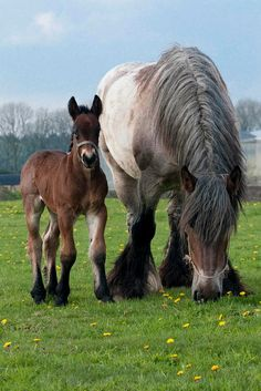 Draft horse with colt