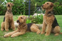 Three Airedale Terriers in the garden photo