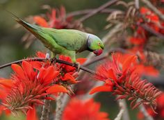 File:Rose-ringed Parakeet (Psittacula krameri) feeding on Indian Coral Tree at Kolkata I IMG 3989.jpg