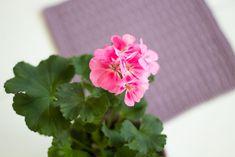 Neulotut tiskirätit – kolme ohjetta - Pariton rasa Rose, Flowers, Plants, Pink, Roses, Flora, Plant, Royal Icing Flowers, Flower
