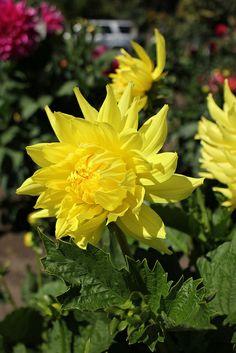 """Chimacum Julia"", Dahlia Dahlia Flowers, Dahlias, Window Boxes, Gerbera, Amazing Gardens, Landscaping, Gardening, Nature, Beautiful Flowers"