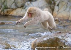 """emaprYY4001<br/>Japanese Macaque (Macaca fuscata) - Also known as """"snow monkeys"""" these animals are famous for sitting in hot springs. This behaviour evolved quite recently, after a monkey near the village of Jikogudani in the Japanese Alps observed people soaking an outdoor hot spring (onsen) and decided to join them. Finding it enjoyable, the behaviour has since spread throughout the troop. The local people have since built the monkeys their own onsen.<br/>© Elizabeth Tasker / Wildlife…"""