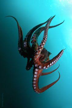 Kraken-Great Octopus photographed by Fedorenko Gennady. Kraken Octopus, Le Kraken, Octopus Art, Octopus Photography, Animal Photography, Landscape Tattoo, Wale, Ocean Creatures, Tier Fotos