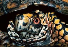 Box turtle in shell Box Turtles, Eastern Box Turtle, Animal Magnetism, Snakes, Reptiles, Shell, Photography, Animals, Design