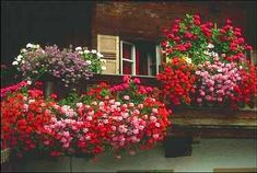 Zonal geraniums were popularized during Victorian times and became the most popular of all window-box flowers.  A heat loving summer bloomer, these and the dangling ivy forms are your best bet for instant color that holds in a heat wave.