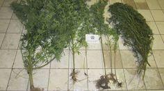[Πρώτο Θέμα]: Φθιώτιδα: Καλλιεργούσαν χασισόδεντρα σε ξένο αγρόκτημα | http://www.multi-news.gr/proto-thema-fthiotida-kalliergousan-chasisodentra-xeno-agroktima/?utm_source=PN&utm_medium=multi-news.gr&utm_campaign=Socializr-multi-news