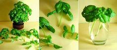 Basilikum: Abgeschnittene Basilikum-Blätter können verwendet werden um neuen Basilkum wachsen zu lassen. Setze die Basilikum Blätter die einen Stängel von 3-4 Zentimetern haben, in ein Glas Wasser. Platziere sie in direkter Sonneneinstrahlung und sobald sich Wurzeln bilden, pflanze sie in Töpfe mit Erde ein. Mit der Zeit werden sie zu vollen Basilikum Pflanzen heranwachsen. Achte darauf, dass du das Wasser ständig (tgl.) wechselst, sodass sie nicht schleimig werden.