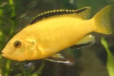 Lake Malawi Cichlid - Yellow Lab.