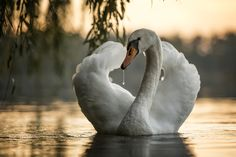 Swan in the sunset - null