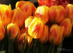 Tulips in Amsterdam. A crazy piece of history but a great thing to travel to see.