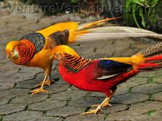 Red and Gold Pheasants