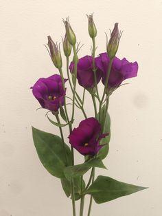 Purple Lisianthus (Eustoma)