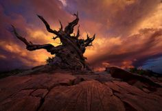 dried tree marc adamus (This looks like a bristlecone pine -- some of these trees are thousands of years old.)