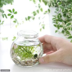 """chanet: """"Waste-set products are being sold"""" (aquatic plants) small Aquarium I-marimo and Java Moss-aquatic Kit set) with manual Honshu-Shikoku limited - Purchase now to accumulate reedemable points! Japanese Water, Cute Japanese, Water Plants, Water Garden, Marimo Moss Ball, Aquarium Fish, Aquarium Ideas, Aquatic Plants, Container Gardening"""