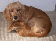 Golden Cocker Retriever Information and Pictures. The Golden Cocker Retriever is not a purebred dog. It is a cross between the Cocker Spaniel and the Golden Retriever. Golden Cocker Retriever, Retriever Puppy, Spaniel Breeds, Dog Breeds, Forever Puppy, Golden Cocker Spaniel, Puppy Palace, Cockerspaniel, Purebred Dogs
