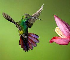 Bee Hummingbird, Hummingbird Pictures, Hummingbird Tattoo, Tropical Birds, Exotic Birds, Colorful Birds, Live Picture, All Birds, Bird Drawings