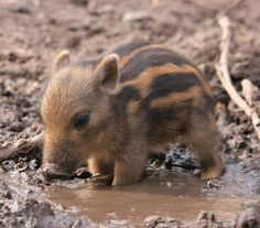 Wildlife - Africa - A baby warthog cooling off in a mud puddle.