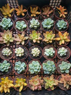 Shop for succulent on Etsy, the place to express your creativity through the buying and selling of handmade and vintage goods. Buy Succulents Online, Planting Succulents, Succulent Plants, Colorful Succulents, Wedding Favours, Healthy, Garden, Purple, Blue