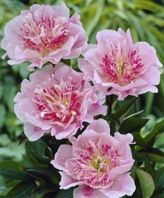 Peony Do Tell - Herbaceous Peonies