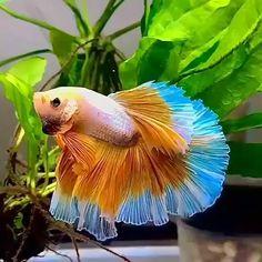 Betta Aquarium, Tropical Fish Aquarium, Freshwater Aquarium Fish, Tropical Freshwater Fish, Fish Ocean, Betta Fish Types, Betta Fish Tank, Beta Fish, Koi Betta