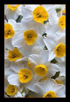 Narcissus ~ by Kawan Aziz Little Flowers, Love Flowers, Spring Flowers, Beautiful Flowers, Narcissus Flower, Daffodil Flower, Unusual Flowers, Flower Images, Flowering Trees