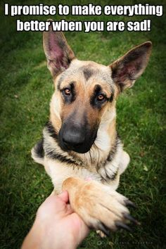 Adopting a German Shepherd Dog From An Animal Shelter Beautiful Dogs, Animals Beautiful, Cute Animals, Dog Quotes, Animal Quotes, Dog Sayings, I Love Dogs, Cute Dogs, German Shepherd Puppies