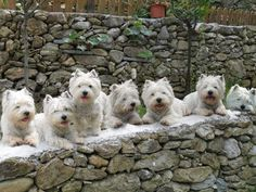West Highland White Terrier Family Portrait