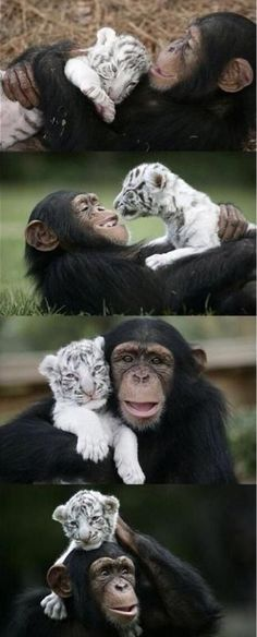 Chimpanzee and a tiger cub