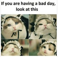 Friday cute little kittens, cats and kittens, cute cats, funny cats, kitty cats Cute Little Kittens, Kittens Cutest, Cats And Kittens, Cute Cats, Ragdoll Cats, Pretty Cats, Cat And Dog Memes, Funny Cat Memes, Funny Cats