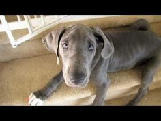 Penny the Cute Blue Great Dane Puppy LOVES Bath Time! - YouTube