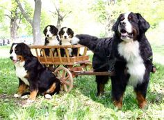 Great picture... #Bernese Mountain Dogs