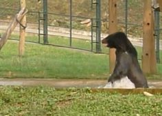 Bear Literally Can't Stop Jumping For Joy After Being Rescued (WATCH)