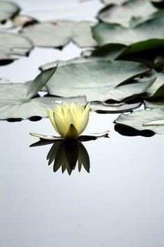 Flowers Photography Lotus Zen New Ideas Love Flowers, Beautiful Flowers, No Rain, Lily Pond, Jolie Photo, Mellow Yellow, Water Garden, Mother Nature, Color Splash