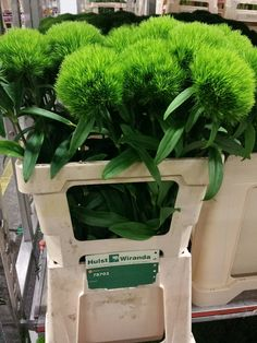 #Dianthus # Green Wicky 80cm Available at www.barendsen.nl