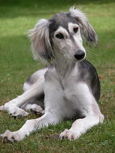 "Saluki puppy, Silver Grizzle color.  We had Salukis when I was a kid, and our first one was a silver grizzle we named ""Bandit""."
