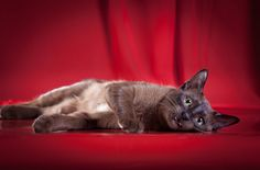 The Tonkinese has a reputation for being a feline innovator. Learn more about this cat breed: http://www.petguide.com/breeds/cat/tonkinese/