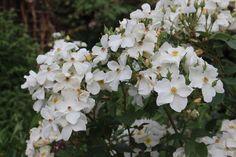 Plant Profiles: Roses - Rosa 'Kew Gardens'