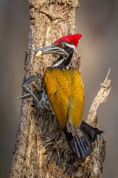 Greater Flameback or Goldenback, Indian subcontinent
