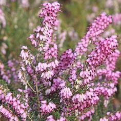 Erica carnea, found in mountains and is pollinator-friendly.