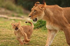 lion pictures - Google Search