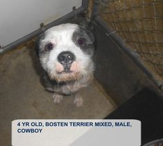 "((SUPER URGENT- SCHEDULED For EUTHANASIA on Thurs 8/27/15)) ""COWBOY"" located in Elizabethtown, NC. This precious 4yr old Boston Terrier mix is waiting for a hero to come save him before he's put to death tomorrow. PLS HELP THIS BABY BOY FIND HIS LOVING, CARING FUREVER HOME. Adopt him now!"