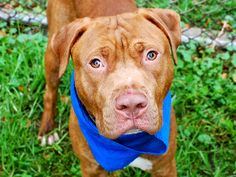 PABLO - A1044203 - - Manhattan  TO BE DESTROYED 07/26/15 A volunteer writes: Beautiful, quiet Pablo is barely out of puppyhood but his bright eyes are already tinged with sadness and his pleading face and worried brow speak volumes; in his world, life is not kind and people cannot be trusted. He's easy to leash and eager to leave his den but painfully hand-shy at times and any sudden movement or the unexpected appearance of a stranger prompts him to freeze and cower i