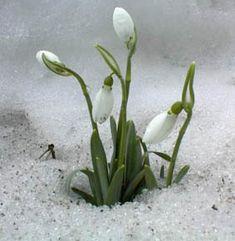 Schneeglocken - Lente - Wikipedia
