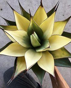 . . . . . Agave sebastiana ……select . . . . . . sold out ! . . . . #agave #agavelovers #plants #plantstagram #succulents #cacti #cactus #botanical #botanicalart #botanicallife #la #california #fashion #music #rock #アガベ #アガベの山 #botanique_de_tavern #garrotnagoya