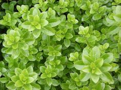 Pittosporum 'Green Pillar', medium size  to 2.5m shrub with small rounded green foliage Compact evergreen  with bright green new growth. Ideal for hedging & screening or will form a rounded shrub if left unclipped. Once established is very hardy & drought tolerant.  Tip prune to maintain shape and size.