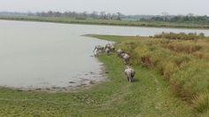Kaziranga#assam#wildlifetours#northeastindia#safari#india#mammals#neroutes#travel#eastindia.