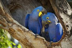 Hyacinth MacAws as Pets - Characteristics and Care