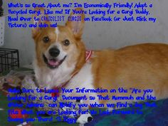 Adopt a corgi info on this picture  There were a lot of purebreds posted the other day! <3 We'd love to see more members there! (Please, if you know someone looking, point them in our direction)! Thanks! - Kim