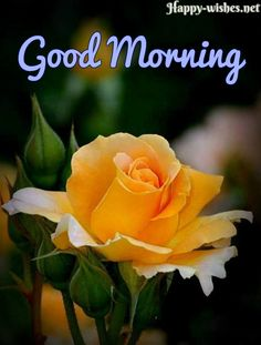 Good Morning Wishes With Yellow Rose Pictures