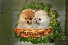 Christmas Pomeranians